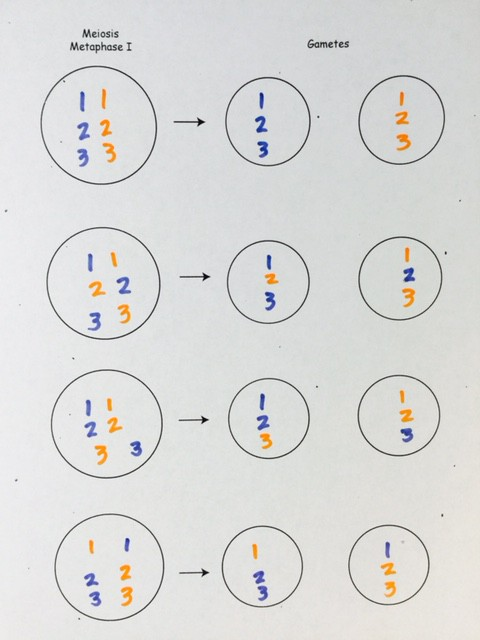 The blue chromosomes are from the maternal grandmother. The orange chromosomes are from the maternal grandfather. These are the possible gametes the mother can make from her mother's and father's chromosomes.