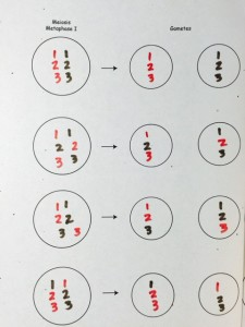 The red chromosomes are from the paternal grandmother. The brown chromosomes are from the paternal grandfather. These are the possible gametes the father can make from his mother's and father's chromosomes.