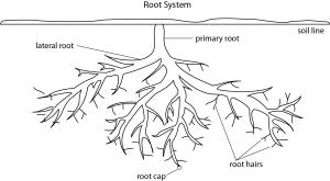 C12RootSystem